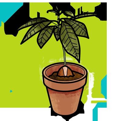 Jardinería con pictogramas: Plantar un aguacate